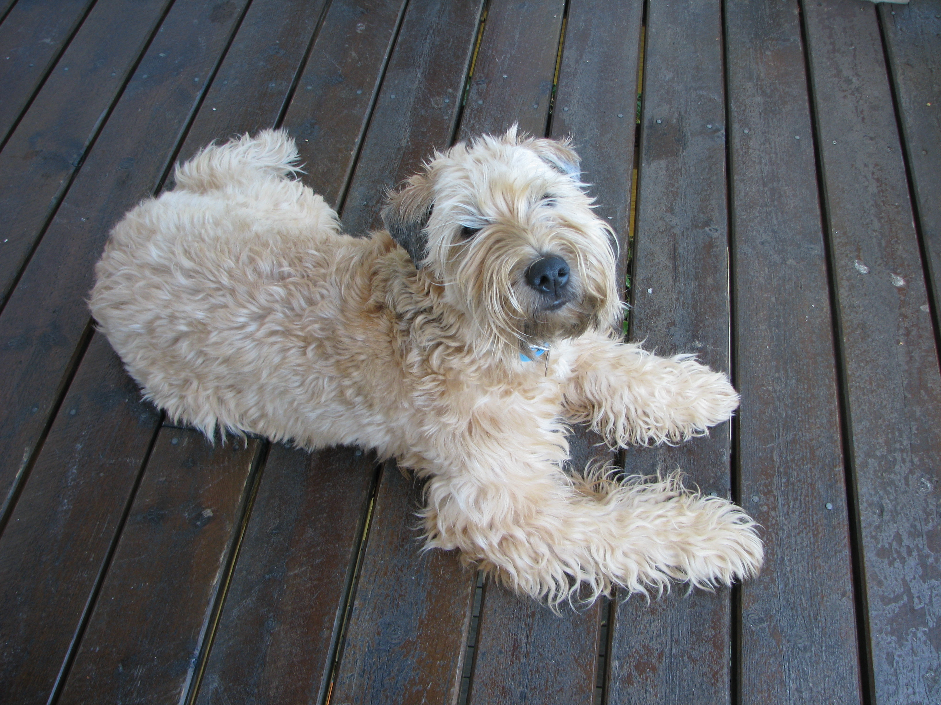 Wheaten Terrier Applied Abstractions